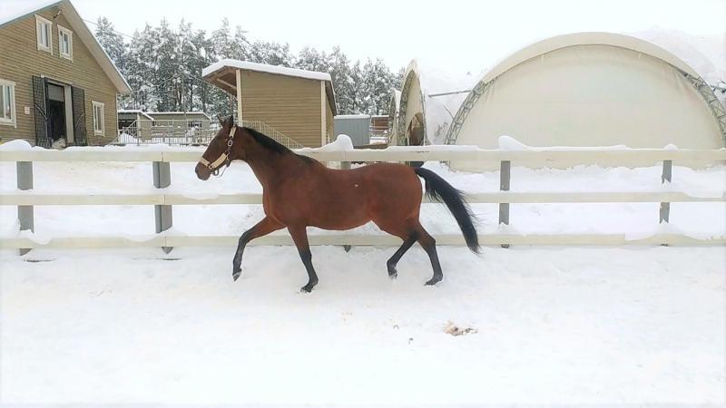 Лошадь Энергия бегает по снегу