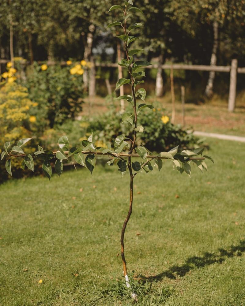 Растяжка груши для шпалеры первый год