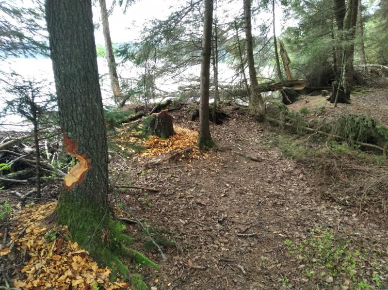Активно на озере хозяйничают бобры. Во время прогулки я вышел на настоящий «лесоповал»