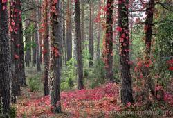 Чырвоны лес ля беларуска-літоўскага памежжа: восеньскія здымкі