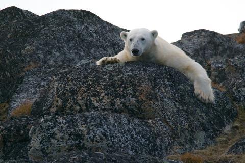 Три дня в поисках еды. Как таяние льдов меняет жизнь полярных медведей