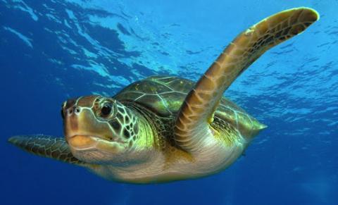 Морские черепахи – наши новые супергерои