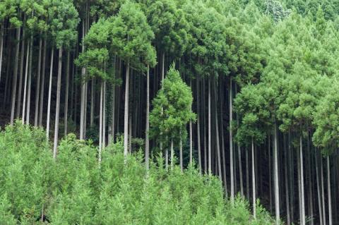 Дайсуги. Как японцы получают древесину, не вырубая деревья