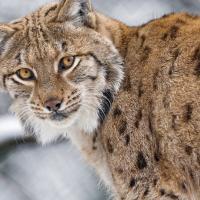 «Сохранение вида на десятом месте». Почему рысь в Беларуси хотят лишить охранного статуса