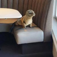 Истощённый от голода морской лев пришёл пообедать в американский ресторан