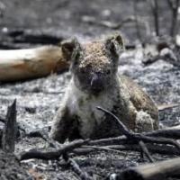 В Австралии призывают усилить защиту коал, популяция которых сократилась на 61%