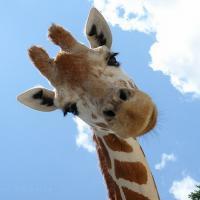 Африканским жирафам грозит вымирание