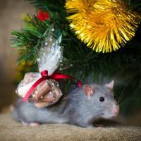 Такая милая и неприхотливая… крыса
