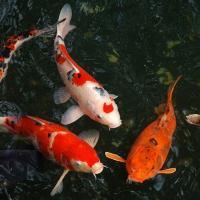 Японская префектура Хёго смягчила требования для промышленных сбросов воды: она оказалась слишком стерильной для рыб