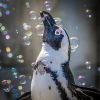 Вялым пингвинам из британского зоопарка подарили генератор мыльных пузырей. Теперь они занимаются спортом и не скучают