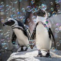 Московским пингвинам устроили пенную вечеринку (видео)