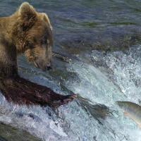 Стрим дня: наблюдайте за тем, как толстеют медведи