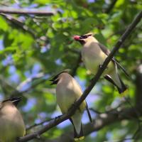Птичье пение изменилось в тишине карантина из-за COVID-19