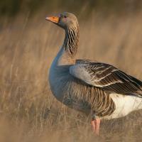 Весенняя охота на водоплавающих птиц в Беларуси: здравый смысл против фетиша добытчика