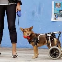 Инвалидность - не приговор: как живут животные с физическими ограничениями