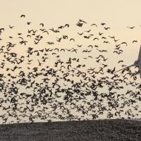 «Они так трясутся – это не шутки!» Много ли птиц убивают ветряки?