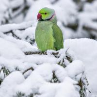 Норвежский попугай Гуннар. Как южная птица приспособилась к северным зимам