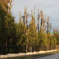 «Понятно, что деревья обрезают, когда они мешают». Научный сотрудник Ботанического сада — о кронировании