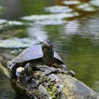 Как болотная черепаха хотела отложить яйца, но запуталась в проволоке