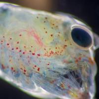 От микропластика страдают не только люди, но и личинки лобстера: он забивается им под панцирь