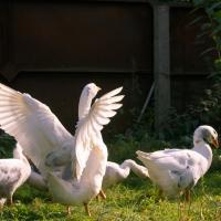 Гусиные истории: «Я люблю наблюдать за птицами. Там нет лишнего»