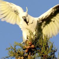 Попугаи пристрастились к маку и сеют хаос в Австралии и Индии