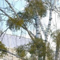 Цена зелёных листьев. Как омела губит деревья?
