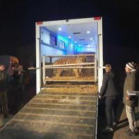Приехали! Тигров, застрявших на польской границе, доставили в Познань, но всё не очень хорошо