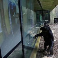Чешские зоопарки устроили видеоконференции скучающим обезьянам
