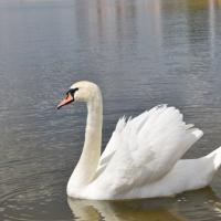 На Святое озеро в Могилеве вернулись лебеди (фото)
