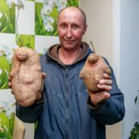 Гродненец выкопал картофелину в 1,5 килограмма
