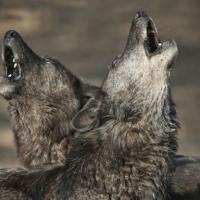Эксперт: «Охотники учат волков нападать на домашних животных»