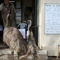 Эму запретили приходить в бар в австралийском городе из-за плохого поведения. Птицы украли еду и нагадили