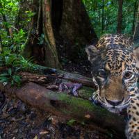 В Эквадоре исчезают ягуары. Их тропический лес вырубают ради кофе