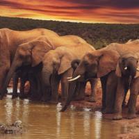 Оба вида африканских слонов признаны вымирающими