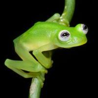 Настоящего лягушонка Кермита встретили в лесах Коста-Рики