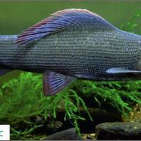 Госинспекция выпустила красочный календарь с описанием краснокнижных рыб