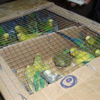 Попугаев и след простыл? Судьба конфискованных птиц под вопросом