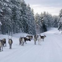 У оленей Швеции появятся собственные мосты