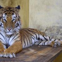 Тигры, застрявшие на границе, поправляются. На их лечение собрано 260 тысяч долларов