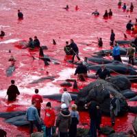 Прекратить убийство дельфинов на Фарерах!