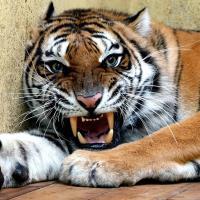 Уехали в Испанию, но не все. Чем закончилась история тигров, спасённых на беларусско-польской границе