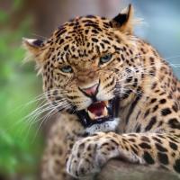 Популяция дальневосточного леопарда за девять лет увеличилась в три раза