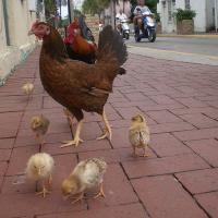 Во Флориде людям запретят кормить бродячих кур