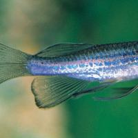 Биологи обнаружили у рыбок феномен отчаяния