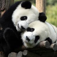 Специальный электронный переводчик позволит поговорить с пандами