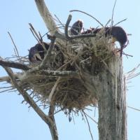 Под Новолукомлем зверски уничтожили гнезда с бакланами (осторожно! жесткие фото)