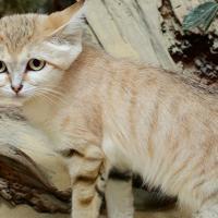 Впервые за 10 лет в Эмиратах увидели барханных котов