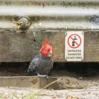 Лесные пожары и климат-кризис угрожают популяции австралийских какаду