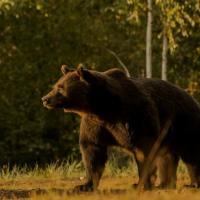 Принца Лихтенштейна обвинили в убийстве самого большого медведя Румынии ради трофея